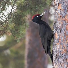 Black Woodpecker - male (1 of 4) (tickspics ) Tags: blackwoodpecker dryocopusmartius europe finland kuusamo oulangankansallispuisto oulanka oulankanationalpark picidae piciformes suomi woodpeckers northernostrobothnia