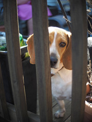 Bo (nikkorexf) Tags: beagle rescue dog night hawk