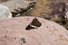 "Mourning Cloak Butterfly • <a style=""font-size:0.8em;"" href=""http://www.flickr.com/photos/63501323@N07/33302100054/"" target=""_blank"">View on Flickr</a>"