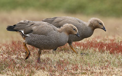 Upland Geese Fledglings (Med Gull) Tags: zegrahm antarctic 2017 goose westpointisland falklandislands