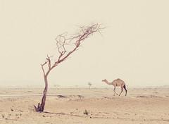 Dubai (miemo) Tags: dubai middleeast uae unitedarabemirates camel camels desert em5mkii landscape minimalism nature olympus olympus40150mmf456 omd road sand travel tree