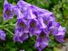 Aconitum veriegata (yewchan) Tags: flower flowers garden gardening blooms blossoms nature beauty beautiful colours colors flora vibrant lovely closeup aconitum aconitumvariegatum monkshood