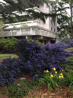 Library in Spring, UCBerkeley.