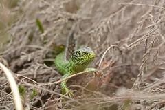 Sand Lizard (Lacerta agilis) male (willjatkins) Tags: lizard lizards lizardsofeurope reptiles reptilesofeurope sandlizard lacertaagilis ukwildlife ukreptilesandamphibians ukamphibiansandreptiles ukreptiles uklizards britishwildlife britishamphibiansandreptiles britishreptilesandamphibians britishreptiles britishlizards dorsetwildlife dorsetreptiles dorsetlizards purbeckwildlife purbeckreptiles purbecklizards protectedspecies protectedwildlife closeupwildlife macrowildlife heathlandwildlife heathlandreptiles nikond7100 sigma105mm springwildlife
