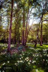 22/30 Tilgate Park (Alex Chilli) Tags: daffodil trees sun flare glare wood flowers spring green canon 70d eos landscape sussex crawley tilgate park