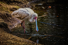 That's Quite A Spoon, Bill! (Alfred Grupstra) Tags: spoonbill annapaulowna noordholland nederland nl bird wildlife nature animal beak water lake animalsinthewild feather wading outdoors beautyinnature wildlifereserve birdwatching pinkcolor red pond oneanimal waterdrops