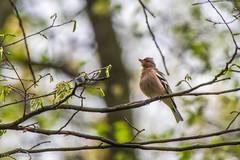 IMGP8680 (michałfarbiszewski) Tags: finch male sing forest bird sigma 50500 apo dg os hsm pentax k70