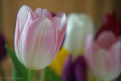 Pink beauty (♥ Annieta  off/on) Tags: annieta maart 2017 sony a6000 nederland netherlands tulp tulip bloem flower fleur flora boeket bouquet allrightsreserved usingthispicturewithoutpermissionisillegal lente spring printemps frühling pink roze coth naturethroughthelens ngc