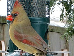 ©Shelley Paige Aylesworth (WBU Barrie) Tags: northern cardinal blackoilsunflower sunflower squirrelbuster brome birdfeeders birdfeeding backyardbirds birds winter
