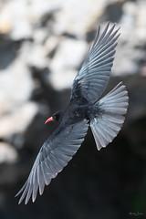 Chough (Shane Jones) Tags: chough corvid bird birdinflight wildlife nature nikon d500 200400vr tc14eii