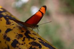 Borboleta bairro São João JM - Wir Caetano - 26 04 2017 (39) (dabliê texto imagem - Comunicação Visual e Jorn) Tags: borboleta inseto amarelo escada ferrugem