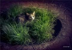 scared cat (Ahmed N Yaghi) Tags: scared cat night dark grass white green hide throne قطة زرع ليل مظلم