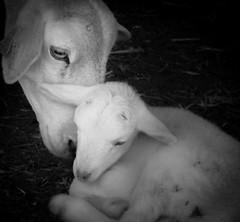 MADRE E HIJO (ROGE gonzalez ALIAGA) Tags: animales ternura blancoynegro nikond5000 cordero ganaderia