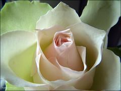 Roos.... (Astrid1949) Tags: roos april 2017 bej