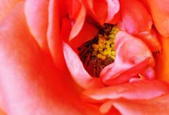 DSC_6608 (PeaTJay) Tags: nikond300s sigma reading lowerearley berkshire macro micro closeups gardens indoors nature flora fauna plants flowers rose roses rosebuds
