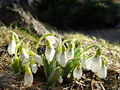 spring! (veebruar) Tags: spring snowdrops garden e