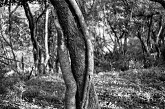 forest impression (ΞSSΞ®®Ξ) Tags: ξssξ®®ξ pentax k5 angle 2017 plant outdoor countryside kepcorautowideanglemc28mm128 forest monochrome blackandwhite tree trunk branches tufahill thevalleyofhorses woodland wood