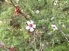 Manuka Flowers (eyair) Tags: ashmashashmash rotorua nz newzealand waiotapu thermalwonderland manuka