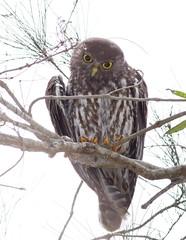 Barking Owl (petefeats) Tags: australia barkingowl birds goldcoast nature ninoxconnivens queensland strigiformes schusterpark strigidae adult