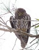 Barking Owl (petefeats) Tags: australia barkingowl birds goldcoast nature ninoxconnivens queensland strigiformes schusterpark strigidae adult