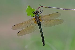 Cordulia aenea - the Downy Emerald (female)