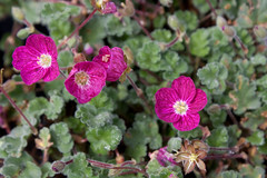 Erodium 'Claret' (MGormanPhotography) Tags: erodium claret geraniaceae heronsbill heron hot pink fuchsia rose dark veins veining bloom flower patented patent