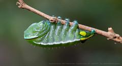 Catterpilar (Almir Cândido de Almeida) Tags: lagarta larva borboleta inseto insecta lepidoptera catterpilar mogi das cruzes sp