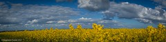 Wellow yellow (frattonparker) Tags: nikond3100 nikkor35mmf18 raw panorama lightroom6 isleofwight canola oilseed rapeseed crop clouds cirrus cumulus cirrocumulus cumulonimbus altocumulus stratus stratocumulus frattonparker btonner