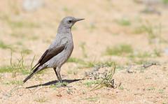Karoo Chat (Cercomela schlegelii) (George Wilkinson) Tags: karoo chat goegapnaturereserve northern cape south africa canon 7d 400mm cercomelaschlegelii bird wildlife