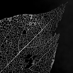 Skeletal leaf (another_scotsman) Tags: leaf skeleton mono blackandwhite macro nature smileonsaturday onesingleleaf