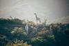 Giraffes in the Horizon