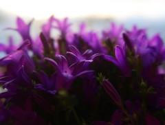 1 Purple Deep (Robert Cowlishaw-Mertonian) Tags: deeppurple purpledeep deepseeksdeep purple shades spring flowers blossoms mertonian robertcowlishaw canon powershot g7x mark ii canonpowershotg7xmarkii morning morninglight ineffable wonder awe green