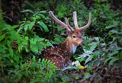 "NEPAL, Royal Chitwan-Nationalpark, Hirsch, 15421/8207 (roba66) Tags: royalchitwannationalpark hirsch deer wild fauna forest wald reisen travel explore voyages roba66 visit urlaub nepal asien asia südasien ""royal chitwannationalpark"" nationalpark landschaft landscape paisaje nature natur naturalezza tier tiere animal animals creature"