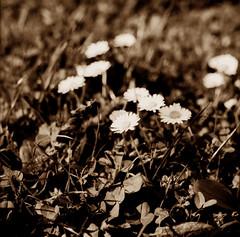 Flower toned (Claudio Taras) Tags: hasselblad501cm film flower fiori foglie foma claudio contrasto controluce taras trier 6x6 120 rodinal rollfilm toned digitaltoned bw bokeh biancoenero bokehlicious monochrom