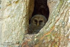 Barred Owl babies (NancySmith133) Tags: barredowls babies greenwoodcemetery thecitybeautiful centralfloridausa