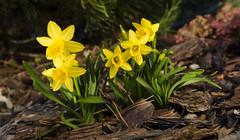 Narcyz żonkil - Narcissus jonquilla (Nieogolony) Tags: przemysław karpiński nieogolony nikon d5100 kwiaty narcyz żonkil natura ogród garden flower polska polacy flickr yard plant słońce sun macro outdoor narcissus jonquilla