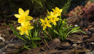 Narcyz żonkil - Narcissus jonquilla