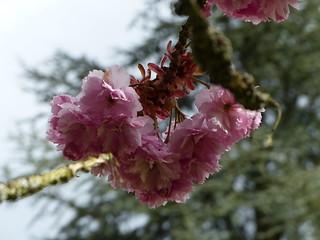 Blüten in Frauenalb bei der  Klosterruine /Albtal (Nord-Schwarzwald)