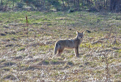 Lone coyote .. close up (1 of 2) ((nature_photonutt) Sue) Tags: coyote ironbridgeontariocanada