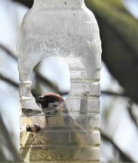 Sparrow In a Bottle - Druridge (Gilli8888) Tags: northumberland birds druridge druridgeponds waterbirds water lake countryside nature sparrow treesparrow smallbirds nikon p900 coolpix