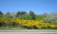 9374 M40 scenery (Andy - Busyyyyyyyyy) Tags: 20170408 bbb ggg gorse m40scenery passengerobservation photodoodle rrr shrubs sss trees ttt xanthic xxx yellow yyy hedgerow hhh