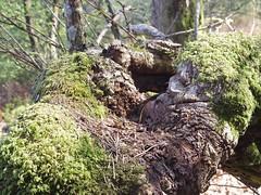Formes (Avril 2017) (Ostrevents) Tags: ballon sarthe 73 régiondelaloire forêtdeperseigne perseigne forêt bois wood arbre tree tronc écorces forme imagination nature vert green herbe grass lumiéres light chn ostrevents mousse lichen