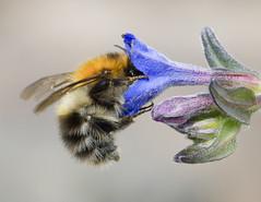 Bee (Koen Adriaenssen) Tags: bee wing fly danger flower sting wild wildlife blue orange green canon 1d mark iv sigma 180 macro honey life beautiful beauty