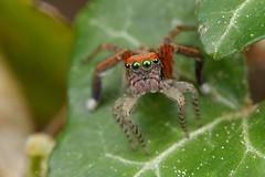 Saitis barbipes, mâle (Cieutat) (G. Pottier) Tags: jumpingspider araignéesauteuse saltique salticidae saitisbarbipes saitis spider araignée nikonnaturephotography d500