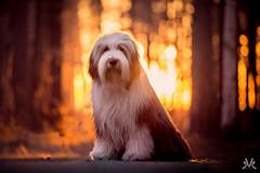 Floyd (Kasinfoto) Tags: bearded collie sweden arvika värmland nikon tamron 70200 sunset spring dog best friend