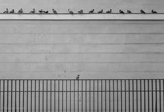 An Expectant Audience (Jesús Simeón) Tags: domingoporlamañana madrid palomas pared sundaymorning doves fence líneasparalelas parallel parallellines pingeons wall blackandwhite blackwhite monochrome streetphotography