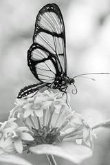 B & W Butterfly (bnbalance) Tags: yourbestblackandwhite blackandwhite inspiring nature art new flowers macro bw black white beautifulbutterfly depthoffield composition