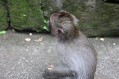Monkey (cludavila) Tags: bali indonesia nyepi ubud seminyak peace beauty nature people
