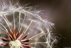 """""""Seeds"""" (Charo R.) Tags: seeds semillas dandelion diente de león macrofotografía canon flores bokeh"""