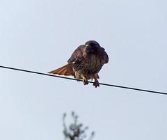 Balancing  act (kkdemien) Tags: birds redtailedhawk